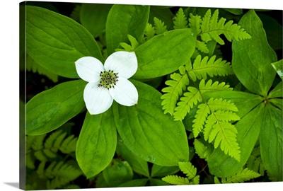 Close up of dwarf dogwood flower and ferns, Turnagain Pass area of the Kenai Peninsula