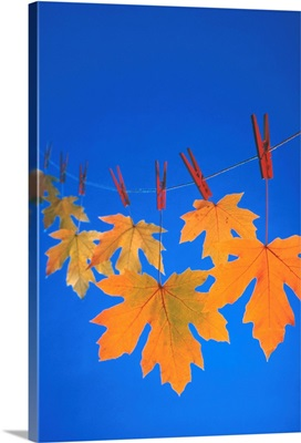 Close-Up Of Fall Colored Maple Leaves On Clothesline