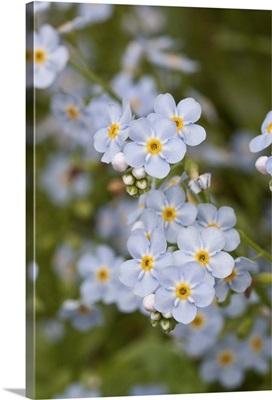 Close up of Forget Me Not Alaskas State Flower Girdwood Southcentral Alaska Summer