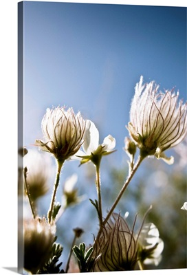 Close-Up Of Fuzzy White Flowers Reaching Toward Bright Sky