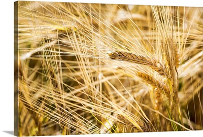 Close up of golden ripe barley heads, Alberta, Canada