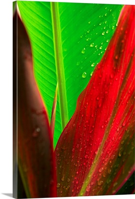 Close-Up Of Green And Red Ti Plants (Cordyline Terminalis)
