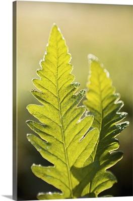 Close-Up Of Green Ferns, Saint-Remi-De-Tingwick, Quebec, Canada