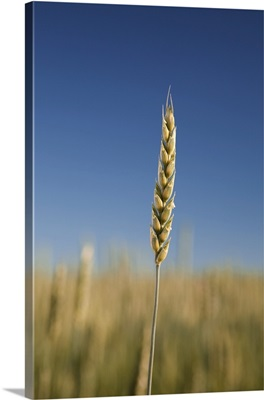Close-Up Of Green Wheat Stalk, Alberta, Canada