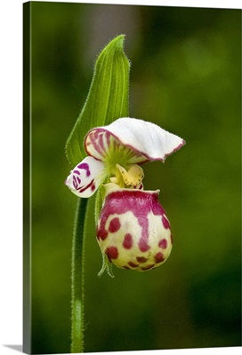 Close up of Lady Slipper in bloom at the Anchorage Botanical Garden
