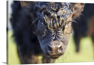 Close-Up Of Newborn Banded Galloway Calf, Cotswolds, Gloucestershire, England, UK