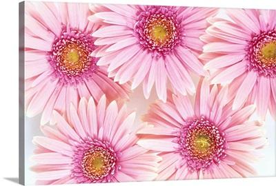 Close-Up Of Pink Daisies