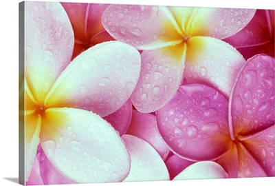Close-Up Of Pink Plumeria Flowers With Yellow Centers, Water Droplets