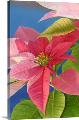 Close-Up Of Pink Poinsettia With Blue Background