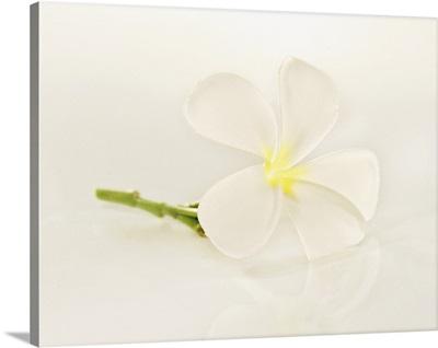 Close-Up Of Plumeria Blossom