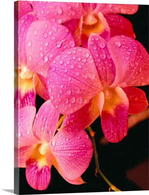 Close-Up Of Purple Vanda Orchid Flowers On Plant, Dew Water Droplets