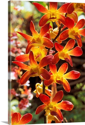 Close-Up Of Red And Yellow Dendrobium Orchids On Plant, Outdoors