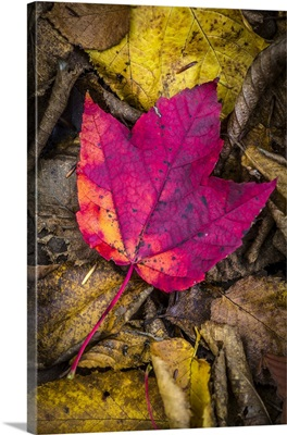 Close-Up Of Red Maple Leaf On Forest Floor Amongst Brown Decomposing Leaves