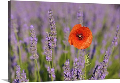 Close-Up Of Red Poppy In Lavender Field, Provence, France