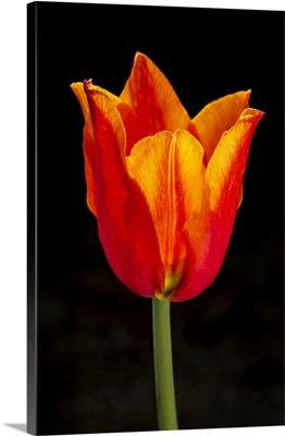 Close-Up Of Single Orange Tulip