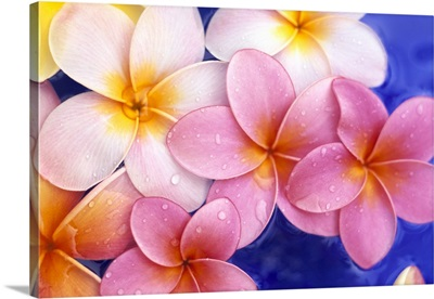 Close-Up Of Yellow And Pink Plumeria Flowers Floating, Water Droplets