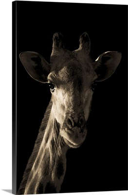 Close-Up Portrait Of A Southern Giraffe's Head And Neck, Gabus Game Ranch, Namibia