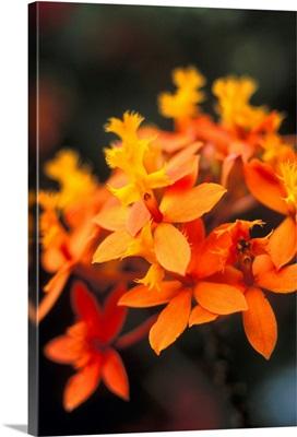 Close-Up Single Group Of Orange Epidendrum Orchid, Soft Focus