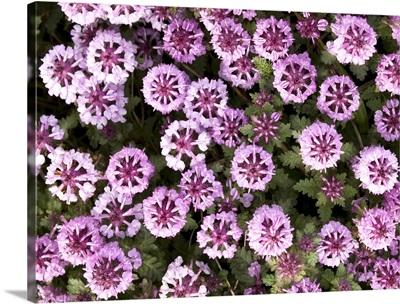 Close up view of Whorled Lousewort flowers summer St. Paul Island Southwest Alaska