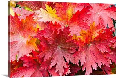 Closeup detail of autumn foliage Kodiak Island Southwest Alaska