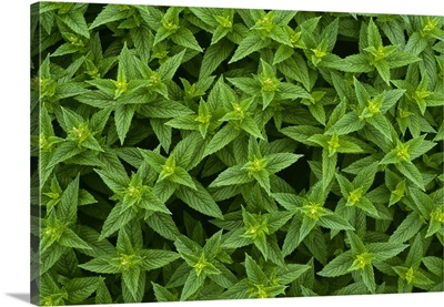 Closeup detail of commercial spearmint growing in a field, Yakima County, Washington