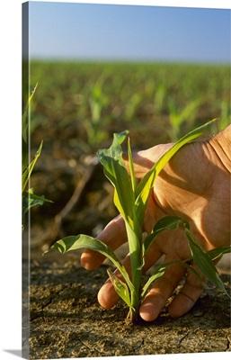 Closeup of a farmer's hand and an early growth Roundup Ready grain corn plant