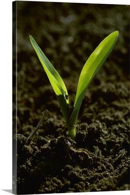 Closeup of a grain corn seedling in a conventionally tilled field, Arkansas
