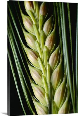 Closeup of a green head of bearded wheat, Childress, Texas