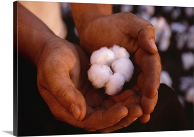 Closeup of a mature, harvest ready 5-lock cotton boll held in a farmers hands