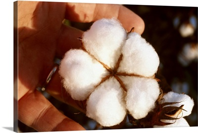 Closeup of a mature open 5-lock cotton boll that is ready for harvest