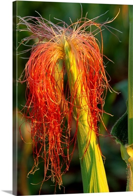 Closeup of an ear of grain corn showing the emerging pollen collecting red silks