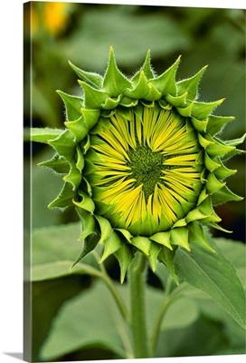 Closeup of an immature sunflower, Wisconsin