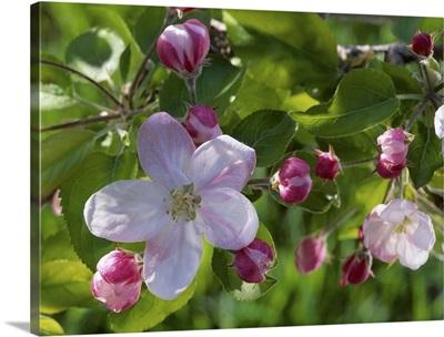 Closeup of apple blossoms, Peshastin, Washington