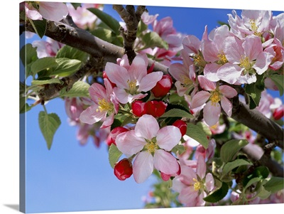 Closeup of Braeburn apple blossoms, near Wenatchee, Washington