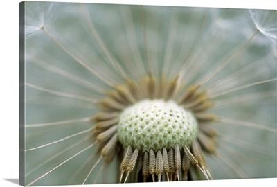 Closeup Of Dandelion Seed Head