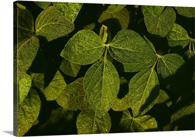 Closeup of dew covered soybean leaves, Iowa