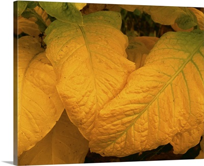 Closeup of Flue cured, or Bright tobacco leaves