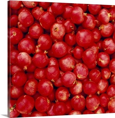 Closeup of harvested pomegranates in a field bin