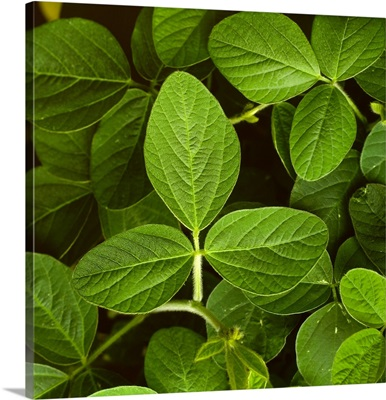 Closeup of healthy mid growth soybean plant leaves, Iowa