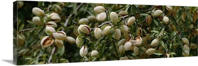 Closeup of mature almonds with hulls cracked open and ready for harvest