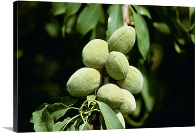 Closeup of maturing almonds on the tree, Manteca, California