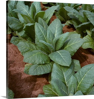 Closeup of mid growth Burley tobacco plants, Tennessee