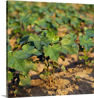 Closeup of no-till early growth cotton plants, Mississippi
