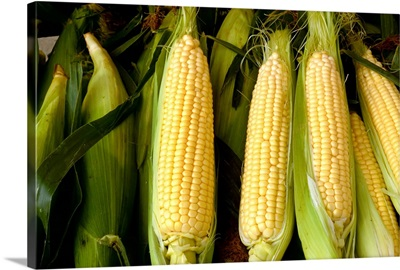 Closeup of partially husked ears of sweet corn in a shipping crate, Tennessee