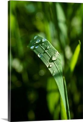 Closeup of raindrops on a green wheat leaf, Arkansas