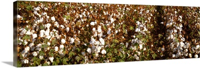 Closeup of rows of mature harvest ready cotton plants
