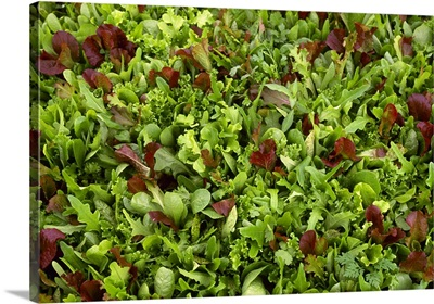 Closeup of specialty lettuce mixture growing in a greenhouse, Pennsylvania