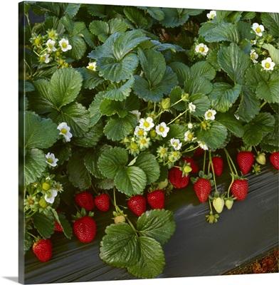 Closeup of strawberry plants