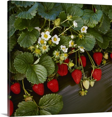 Closeup of strawberry plants with blossoms and ripe berries in a row