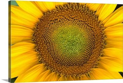 Closeup of sunflower center